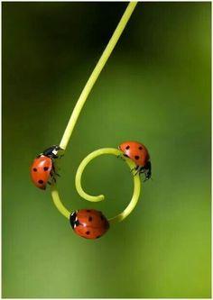 Three Little Ladybugs on a Tendril