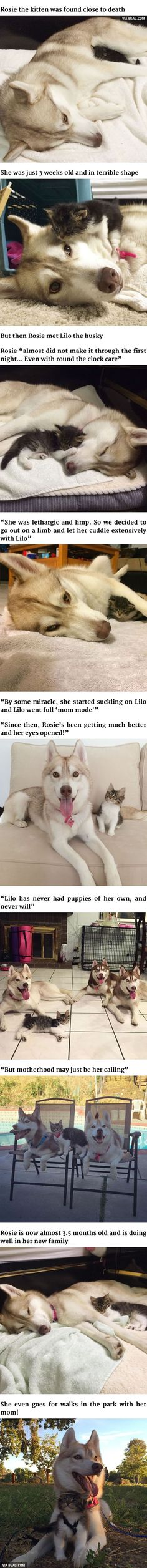 Well, there was a husky that thought she was a cat....so a cat thinking she's a husky is a logical consequence, right? This is so sweet....