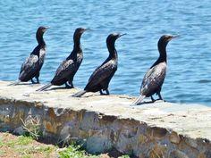 Little Black Cormorants - Yerrabi Pond, ACT