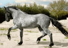 Murgese stallion, Carletto. A rare blue roan; the only color other than solid black seen in the Murgese breed. Carletto is a young but winning dressage show horse and has his own Facebook page. Trained and handled by Jolanda Adelaar Rossi. photo: Checca Curci.