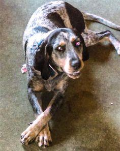 Lost Dog - Bluetick Coonhound - Hamden, Oreton, OH, United States 45634