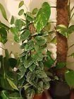 Rare Scindapsus Epipremnum Philodendron Devil's Ivy Pothos  House Plant Cutting   | eBay | 1000 - Modern - Modern Design Hanging Flower Pots, Hanging Succulents, House Plants Decor, Plant Decor, Pothos Vine, Best Air Purifying Plants, Stone Plant, Ivy Plants, Plant Cuttings