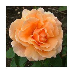 Just Joey Hybrid Tea Rose - my favorite rose.