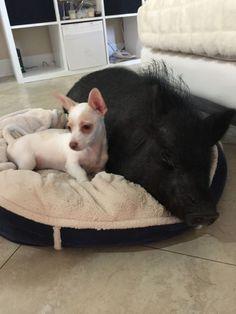 Cadelinha resgatada recebe proteção e amor de porca
