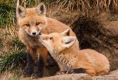 #SpringIs....Fox kits!