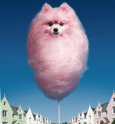 cotton candy pom