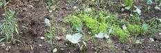 Fabriquer son desherbant écolo-Astuces pour désherber sans polluer : désherbant écolo avec purin d'orties, angélique, sarrasin, jus de pomme de terre anti-mauvaises herbes, désherbant bio