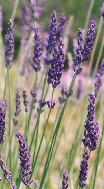 Growing Lavender: Lavender varieties and how to grow lavender