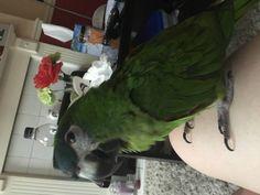 LOST MACAW: 17/06/2017 - Beeston, Leeds, West Yorkshire, England, United Kingdom. Ref#: L31616 - #ParrotAlert #LostBird #LostParrot #MissingBird #MissingParrot #LostMacaw #MissingMacaw