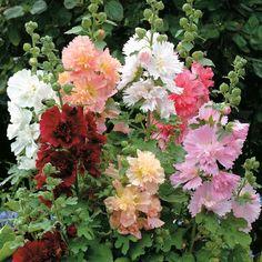 Hollyhock (Alcea rosea, Zones 3 to 9)