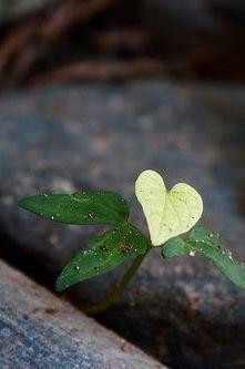 """Me cortó sin temor a mi corazón, Es la arcilla que florecerá en el primer baño de lluvia"" God's Heart, I Love Heart, Happy Heart, Heart Art, Heart Pictures, Heart Images, Heart In Nature, Natural Wonders, Belle Photo"