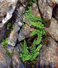 Woodsia alpina & Asplenium trichomanes subsp. trichomanes.