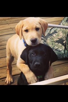 Lab Puppies                                                                                                                                                                                 More #labradorretriever