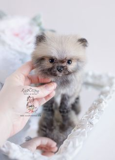 Marvelous Pomeranian Does Your Dog Measure Up and Does It Matter Characteristics. All About Pomeranian Does Your Dog Measure Up and Does It Matter Characteristics. Micro Teacup Pomeranian, Pomeranian Facts, Pomeranian Breed, Pomeranian Puppy For Sale, Cute Pomeranian, Teacup Puppies, Cute Puppies, Pomeranians, Teacup Yorkie