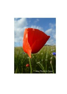 """Items similar to Poster """"Thoughts poppies"""" from Celine Photos Art Nature Photography on Etsy Celine, Watermelon, Posters, Leaves, Fruit, Nature, Flowers, Photos, Etsy"""