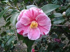 wow! camellia