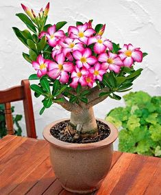 Mixed color Adenium Obesum flores desert rose plantas,bonsai flower plante for home garden planting,easy to grow Cacti And Succulents, Planting Succulents, Cactus Plants, Succulent Seeds, Plantas Bonsai, Cactus Flower, Flower Seeds, Orchid Cactus, Flower Plants