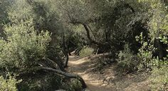 """Photo: Scrub oak """"tunnels"""" on the Camino Ruiz Trail. Street Trees, The Camino, Places To Go, Trail, Country Roads, Floor, Pavement, Boden, Flooring"""