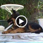 cindy altdeutscher schäferhund mauerbach - Google-Suche