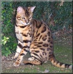 Bengal Cat Breeder NiteWindes Cattery | Health Issues of the Bengal and Savannah