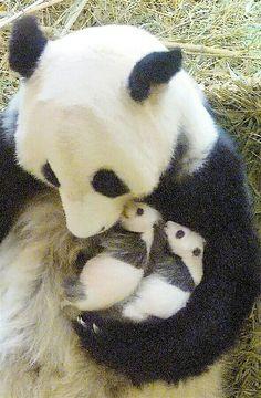 baby panda bears A Mother's Love Panda Love, Cute Panda, Nature Animals, Animals And Pets, Beautiful Creatures, Animals Beautiful, Cute Baby Animals, Funny Animals, Baby Panda Bears