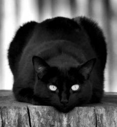 """if a black cat crosses your path, it's a sign that the animal is going somewhere."" --Groucho Marx. Thank you! They are not unlucky and deserve love too."