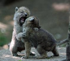 Wolf babies playing, I thought they were bears, they do kinda of look like them, but no, definitely wolf cubs (??cubs)