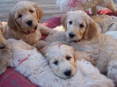 Omg! They're Goldendoodles!!! I want one!!