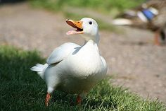 ducks breeds - Google Search