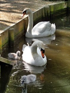 little swan family Beautiful Swan, Beautiful Birds, Animals Beautiful, Animals And Pets, Baby Animals, Cute Animals, All Birds, Love Birds, All Gods Creatures