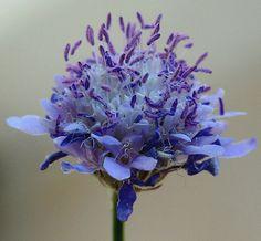 Scabiosa columbaria Exotic Flowers, Amazing Flowers, Fresh Flowers, Blue Flowers, Colorful Garden, Tropical Garden, Purple Garden, Scabiosa Columbaria, Farm Gardens