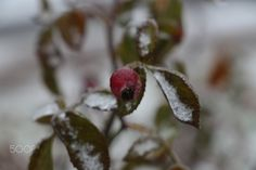 Frosty rosehips by Katalin Bölcskei - Photo 134827781 - 500px