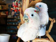 Goffin Cockatoos As Pets