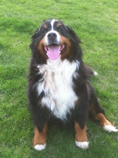 Bernese Mountain dog! Matt loves these dogs!