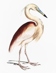 Public Domain | Marone Backed Heron (Ardea Grayii) from Illustrations of Indian zoology (1830-1834) by John Edward Gray (1800-1875) | premium image by rawpixel.com