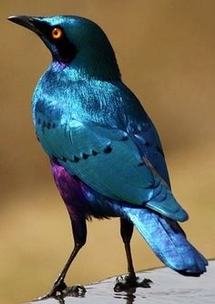^Blue-eared Glossy Starling - Africa