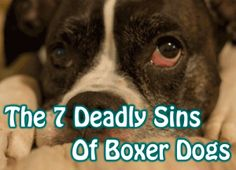Boxer dogs are known for their human-like qualities. But with these traits comes some baggage. Here are the seven deadly sins of boxer dogs.