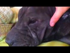 ASMR Shar Pei Dog Petting Lazy Morning ASMR Shar Pei Dog Petting Lazy Morning ASMR relaxing petting Shar Pei NO TALK self improvement, culture ethnicity, filmmaking, feminism, sleep disorder, sleep quickly ASMR FEEL GOOD PLEASURABLE SOUNDS ASMR NO TALK |Kitafit  Dogs, Pets, Shar pei, mental well being, mental health, sleep fast. Watch this video now and spend some time with me and my Shar Pei on a beautiful sunny day of March listen to the waterfall in the background and birds chirping in my…