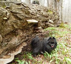 Loki Manitstee National Forest Pomeranian