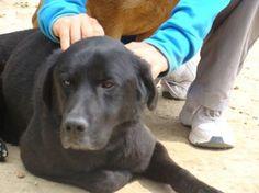 JUNIOR  labrador de 6 ans , il est très affectueux , sociable , joueur ,UN AMOUR de chien ! il est pucé et vacciné Un gite une gamelle (Pyrénées-Orientales)  06 08 51 15 02