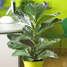 Geigenfeige Ficus Lyrata - 1 pflanze günstig online kaufen, bestellen Sie schnell und bequem online