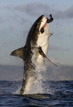 Weißer Hai mit Beute im Maul