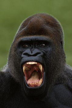 Western lowland gorilla.....so frightening, yet so beautiful!
