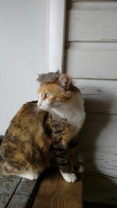 Donald Trump Hair, Cats, Animals, Gatos, Animais, Animales, Animaux, Animal, Kitty