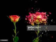 Stock Photo : Before and after exploding flower