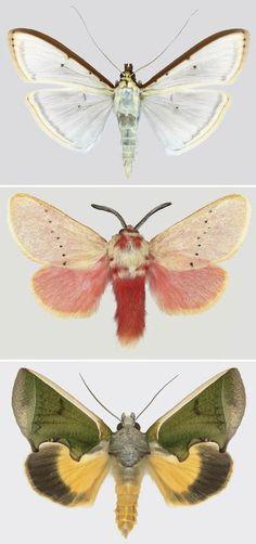 Three beautiful moths.