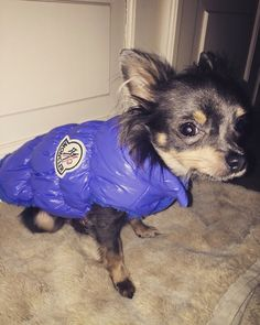 BinQ in his inspired Moncler jacket! More info at instagram account @fake_tastisch #Moncler #Winter #Jacket #Coat #Chihuahua #Bag #dog #smalldog #Fashion #love #dogcarrier #transport #travel #dogclothes Dog Carrier, Dog Design, Moncler, Small Dogs, Chihuahua, Inspired, Coat, Winter, Jackets