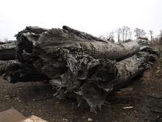 Log Bog Oak 800-6500 years old FOR SALE office@riverwood.eu