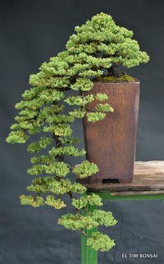 Procumbens Juniper Cascade Bonsai