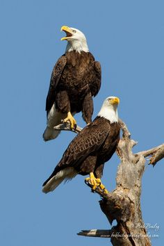 Mating Bald Eagles by Bob Bailey on On August the bald eagle was removed from the federal list of threatened and endangered species. After nearly disappearing from most of the United States decades ago, the bald eagle is now flou The Eagles, Types Of Eagles, Bald Eagles, Eagle Pictures, Animal Pictures, Birds Of Prey, Beautiful Birds, Animals Beautiful, Aigle Animal